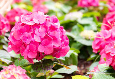 Hydrangea flowers blooming in garden Royalty Free Stock Image