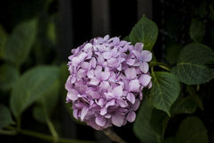 Hydrangea flowers are blooming Stock Photos