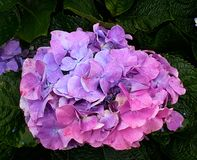 Hydrangea flowers. Blooming in spring. stock image