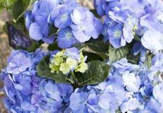 Hydrangea flowers. Blue Hortensia's in a garden Stock Image
