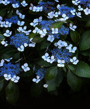 Hydrangea Flowers. Blue and White Hydrangea Flowers growing in a garden royalty free stock images