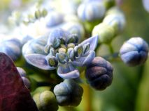 Detail of Blue Lacecap Hydrangea Flowers Center royalty free stock photography
