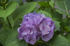 Hydrangea petals violet color. Details of Hydrangea violet petals royalty free stock images