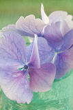 Hydrangea flowers close-up Stock Images