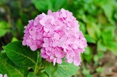 Hydrangea flowers. Fresh blossom hydrangea flowers Royalty Free Stock Photos