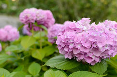 Hydrangea flowers in the garden. Blooming in a garden of pink hydrangea flowers Royalty Free Stock Photo