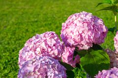 Hydrangea flowers in garden royalty free stock images