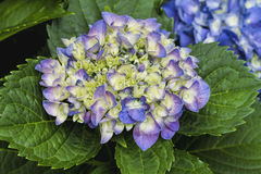 Hydrangea Flowers - Hydrangeaceae. This is a hydrangea blossom cluster getting ready to open. This is a perennial shrub, or bush that is growing in Morgan County royalty free stock image