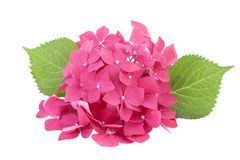 Hydrangea flowers isolated on white Royalty Free Stock Photography