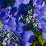 Hydrangea flowers macro Stock Photo