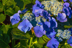Hydrangea flowers macro Stock Image