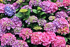 Hydrangea Flowers - many Royalty Free Stock Images