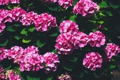 Hydrangea flowers Royalty Free Stock Photo
