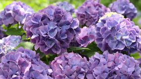 Hydrangea flowers stock video footage