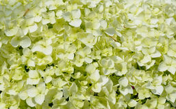 Hydrangea flowers natural background. Flowers of white hydrangea as background image Royalty Free Stock Photography
