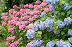 Hydrangea flowers stock images