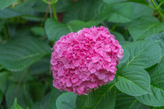 Hydrangea flowers. Pink flowers. Garden plants. stock images