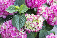 Hydrangea flowers. Pink Hortensia's in a garden Stock Image