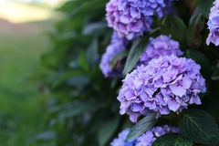 Hydrangea, flowers, purple, violet, purple, lilac. Bush Purple hydrangea, floral splendor, the natural beauty of France royalty free stock images