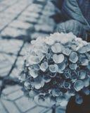 Hydrangea Stock Photography