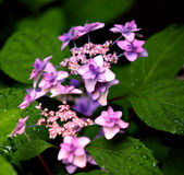 Hydrangea Flowers Shallow DOF. Cluster of Hydrangea flowers in pink and purple.  Shallow DOF Royalty Free Stock Photos