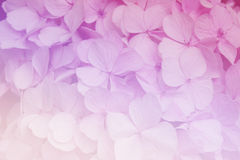 Hydrangea flowers in soft color style for Abstract background. Stock Photography