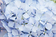 Hydrangea flowers Stock Photography