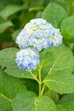 Hydrangea. Fresh blossom blue hydrangea flowers Royalty Free Stock Photo