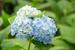 Hydrangea. Fresh blossom blue hydrangea flowers Royalty Free Stock Photography