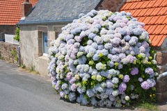 Hydrangea in front of cottage in Brittany, France Royalty Free Stock Photography