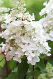 Hydrangea in full bloom Stock Photo
