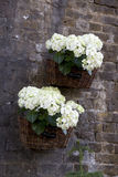 Hydrangea garden Stock Photo