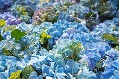 Hydrangea garden Royalty Free Stock Image