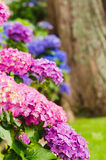 Hydrangea garden Royalty Free Stock Photography