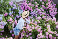Hydrangea garden. Girl takes care of spring bushes. Flowers are pink, blue, lilac and blooming in town streets. Young woman is wearing in denim shorts, straw stock photography