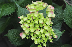 Hydrangea in garden Royalty Free Stock Photography