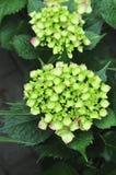 Hydrangea in garden Royalty Free Stock Photo