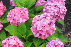 Hydrangea garden in Japan Stock Photo
