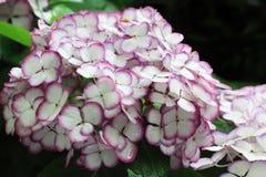 Hydrangea garden in Japan Royalty Free Stock Photos