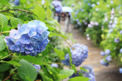 Hydrangea garden in Japan Royalty Free Stock Images