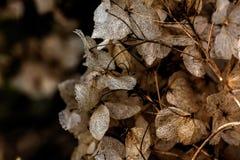 hydrangea Getrocknete Blumen Lizenzfreie Stockfotos