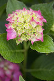 Hydrangea - Glowing Ember Royalty Free Stock Photos