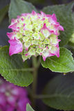 Hydrangea - Glowing Ember Royalty Free Stock Photo