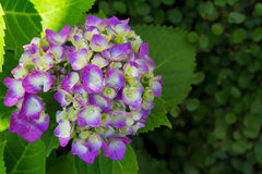 Hydrangea and green leaves of purple Stock Image