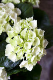 Hydrangea. Green Hydrangea in pot . close detail Stock Images