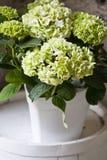 Hydrangea. Green Hydrangea in pot . close detail Royalty Free Stock Image