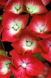 Hydrangea flowers. Red Hydrangea flowers in the garden stock photos