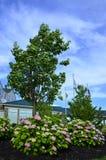 Hydrangea (H. macrophylla) Royalty Free Stock Image