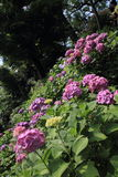 Hydrangea at Hase temple. Kamakura, Japan Royalty Free Stock Images