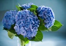 Hydrangea hortensia Stock Fotografie